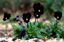 small plant with black flowers