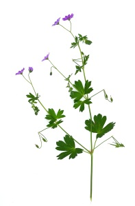 Wood Crane's-bill. Geranium sylvaticum