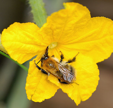 Bumblebee pollinating a female cucumber flower