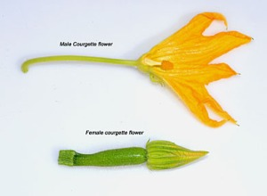 Courgette flowers male and female