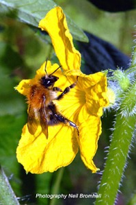 Cucumber flower pollination by bumblebee