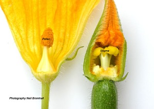 Courgette flowers. Male pollen and female stigma