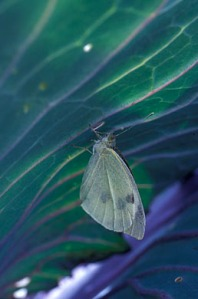 Small White butterfly laying egs on a cabbage