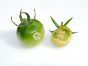 Tomatoes eaten by Pieris rapae caterpillars