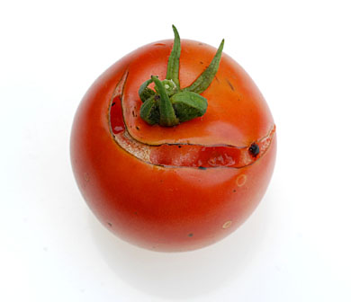 Tomato splitting due to irregular watering
