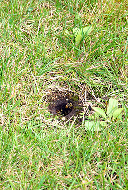 Wasp nest in lawn can be dangerous to humans and pets