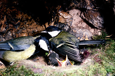 Tom tits inside a nest box feeding chicks