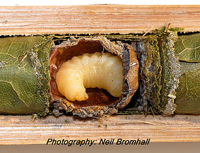 Leaf-cutter bee larva inside chamber, eating the pollen provided by the bee