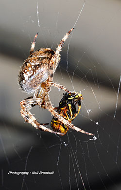 Orb spider eating a wasp