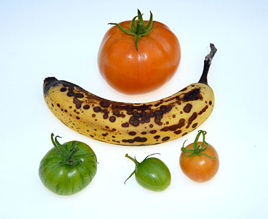Ripening tomatoes with a ripe banana